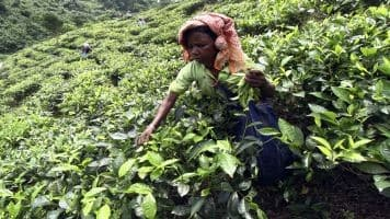 Tea exports dip nearly 5% in August