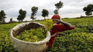 Tea output eases to 1,127.7 million kg in April-January