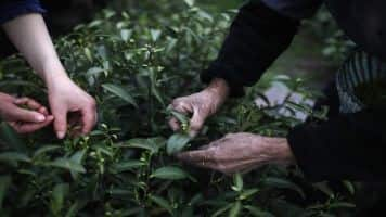Tea output up 3% at 901.67 million kg in Jan-Sep