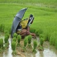 India to lose top rice exporter after poor monsoon
