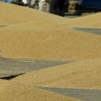 Govt hikes wheat MSP by Rs 100/qtl; pulses by up to 550/qtl