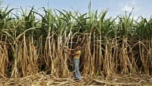 My TV : Why UP farmers are moving away from 'cash crop' sugarcane