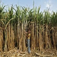 ISMA cuts sugar output forecast for 3rd time in 2016-17