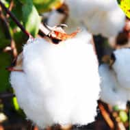 China is cutting the price of domestic Cotton being sold from its state reserves