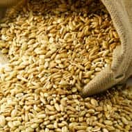 Russian prices for new crop wheat fell further last week awaiting the start of the harvest