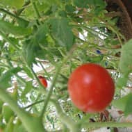 Tomatoes remain costlier at upto Rs 80/kg