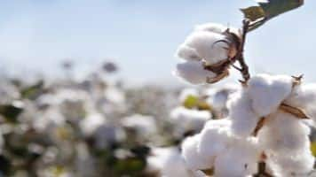 Cotton exports may dip 10% on rise in local prices